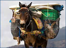 Burro, fully loaded